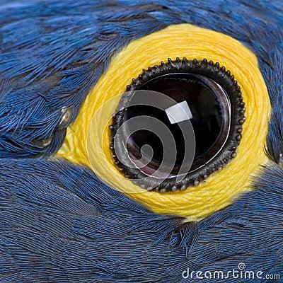 Hyacinth Macaw, 1 year old, close up on eye