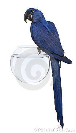Hyacinth Macaw, 1 year old, perched on an aquarium