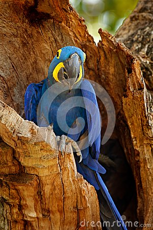 Free Hyacinth Macaw, Anodorhynchus Hyacinthinus, Blue Parrot. Portrait Big Blue Parrot, Pantanal, Brazil, South America. Beautiful Rare Stock Images - 110445034