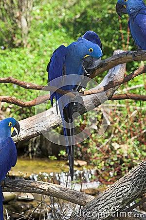 Free Hyacinth Macaws 2 Royalty Free Stock Photo - 639715