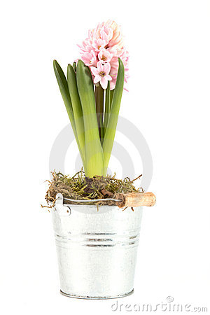 Hyacinth with opened blossom