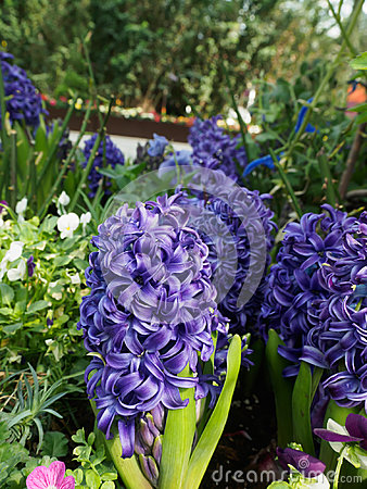 Free Hyacinth Purple Star Royalty Free Stock Photos - 94585378
