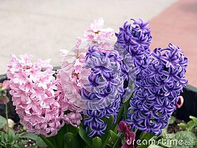 Hyacinth roxo e cor-de-rosa