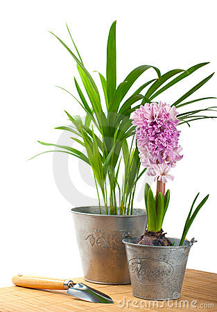 Hyacinth and tropical plant
