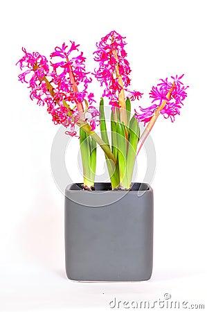 Hyacinthus flower  Easter spring