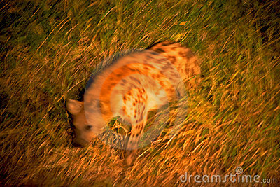 Hyaena manchado