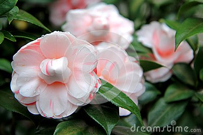 Hybrid Pale Pink Roses