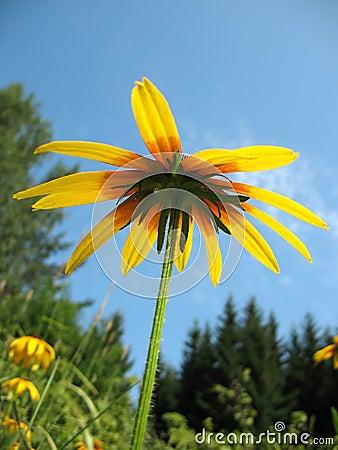Hybrid rudbeckia (Rudbeckia x hybrida)