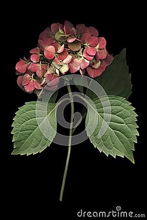 Free Hydrangea Bloom On Black Stock Images - 21327014