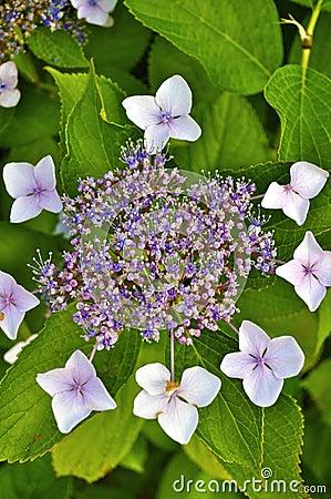 Free Hydrangea Buds Stock Photo - 14923540