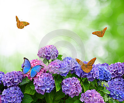 Hydrangea with butterflies