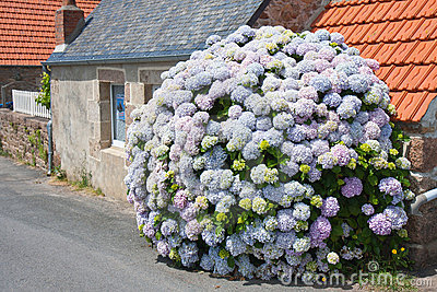 Hydrangea in front of cottage in Brittany, France