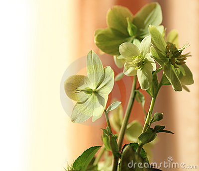 Hydrangea- Helleborus