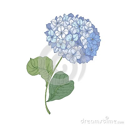 Free Hydrangea Or Hortensia Blooming Flower Isolated On White Background. Detailed Natural Drawing Of Garden Ornamental Stock Photography - 116080852