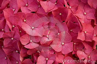 Hydrangea Flowers on Hydrangea Red Flower Stock Image   Image  13871871