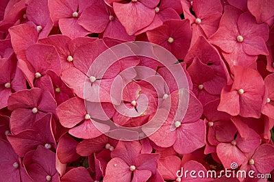 Hydrangea red flower