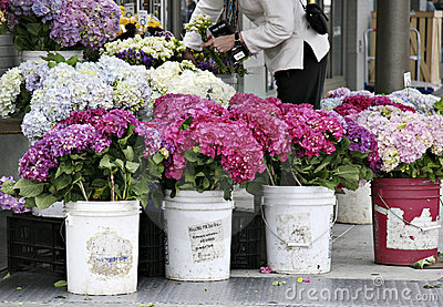 Hydrangeas at farmers market