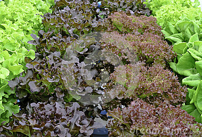 Hydroponic fresh lettuce vegetable