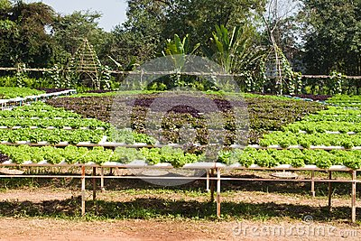 Hydroponic plant of Lettuce