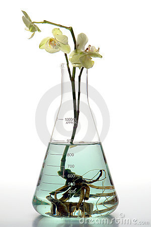 Hydroponics Orchid Flower in Laboratory Flask