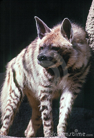 Free HYENA Royalty Free Stock Photography - 1406907