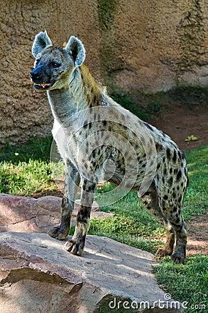 Free Hyena, Stock Photo - 20881310