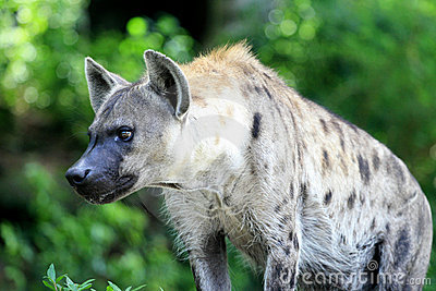 Hyena Stock Photos - Image: 20985453