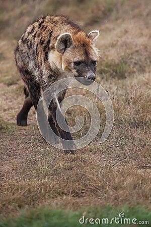 Free Hyena Royalty Free Stock Photo - 25949805