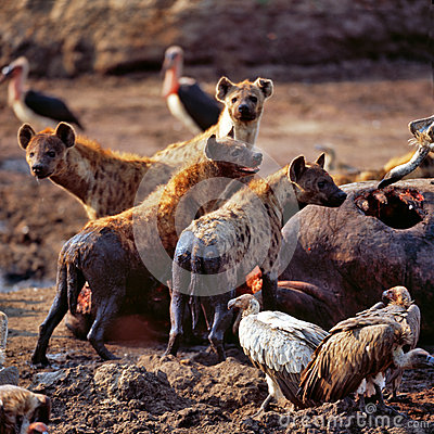 Free Hyena Royalty Free Stock Image - 50423786