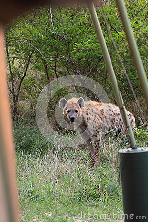 Hyena at campsite