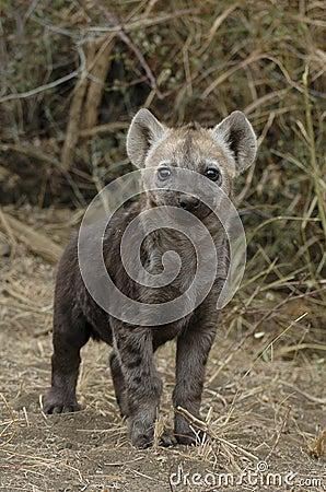 Free Hyena Cub Royalty Free Stock Photo - 16511225