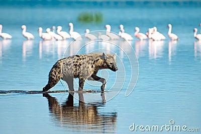Hyena de la caza