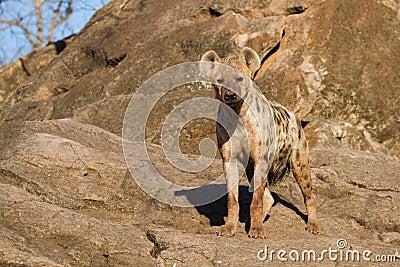 Hyena female