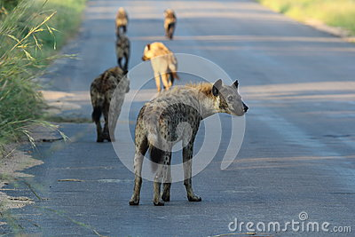 Hyena Pack on the prowl in Kruger National Park