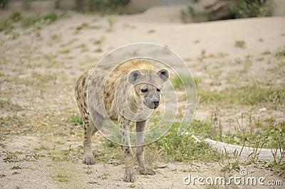 Hyena in sand