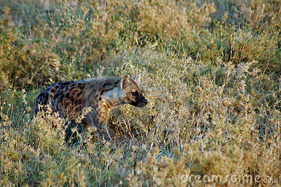 Hyena stalking through grass in Africa