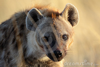Hyena with sunrise reflection in its eye