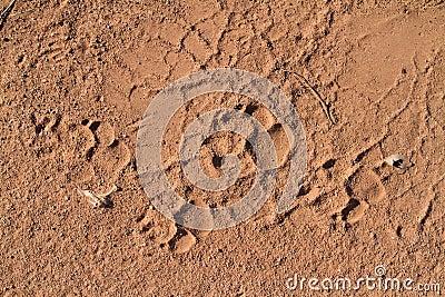 Hyena tracks