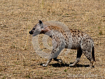 Hyena walking on the grass