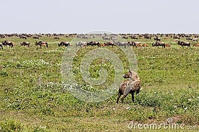 Hyena watching wildebeest