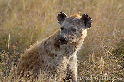 Hyena in wildlife