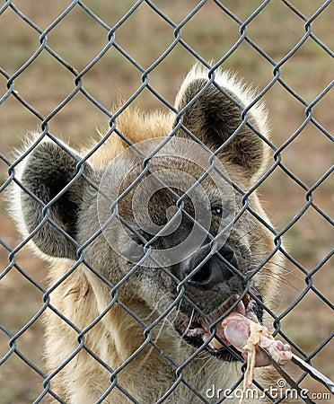 Free Hyenas Royalty Free Stock Photos - 90824828
