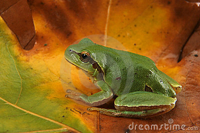 Hyla arborea (Green Tree Frog)