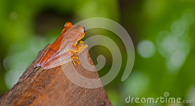 A Hyla Frog