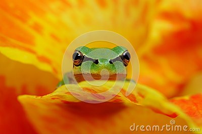 Hyla frog in yelow and orange flower contrast