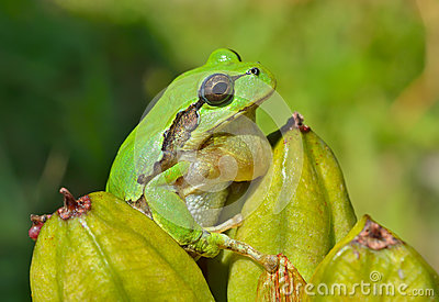 Hyla (tree toad) 10