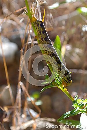 Hyles lineata larva