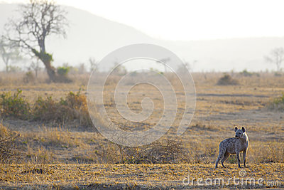 Hyäne im Sonnenaufgang