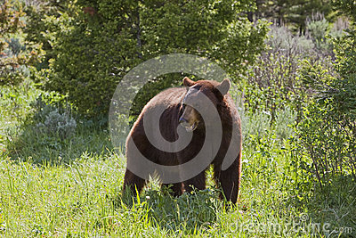 Hyperphagic Black Bear
