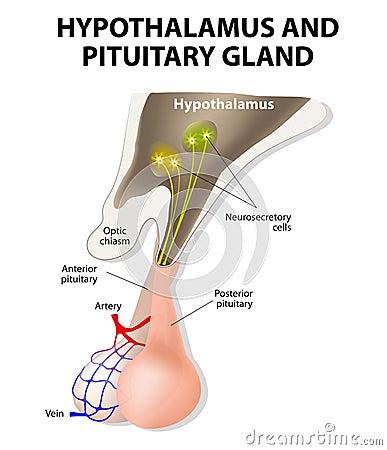 Hypothalamus And Pituitary Gland Stock Vector - Image ...  Hypothalamus An...